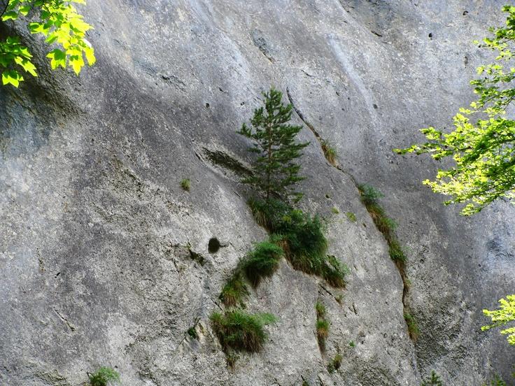 Petit sapin dans la falaise, gorges de Covatanaz, été 2012