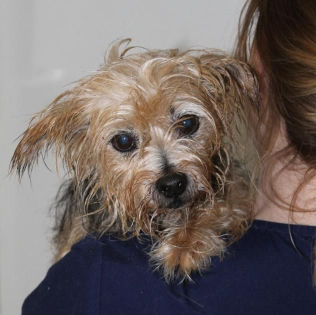 Audrey A Sweet Senior Yorkshire Terrier Looking For A Forever