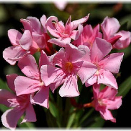 Die 25+ Besten Ideen Zu Oleander Pflege Auf Pinterest | Oleander ... Oleander Als Zimmerpflanze Richtig Pflegen