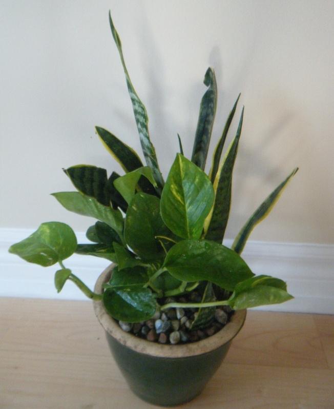 A clean air duo: Golden pothos (Epipremnum aureum) and Snake Plant (Sansevieria trifasciata)