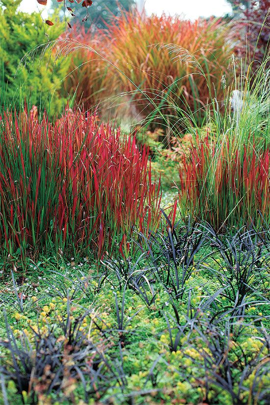255 best ornamental grasses for sun and shade images on for Coloured ornamental grasses