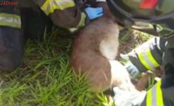 Onça parda ferida é resgatada na Rodovia dos Bandeirantes em Cordeirópolis