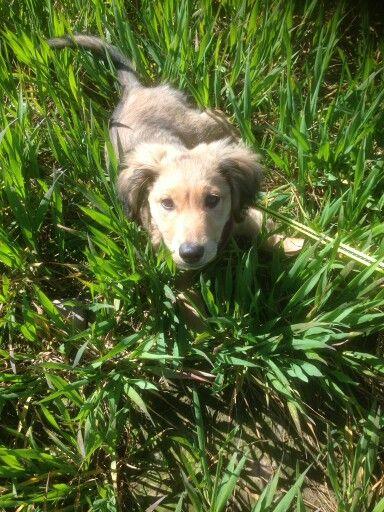 country walk in long grass #dachshund