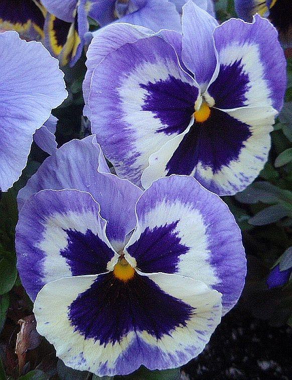 Pretty purple pansies
