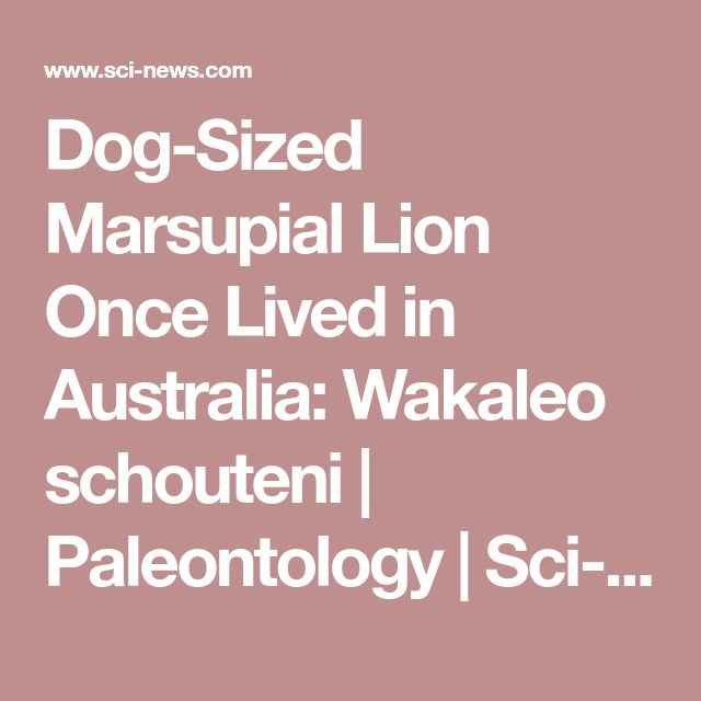 Dog-Sized Marsupial Lion Once Lived in Australia: Wakaleo schouteni | Paleontology | Sci-News.com
