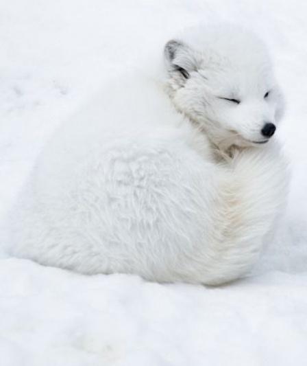 Arctic Fox by dada-ism