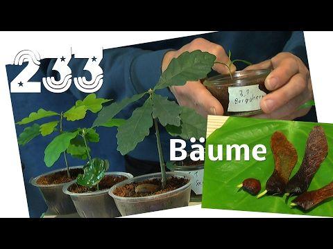 Einheimische Bäume Spitzahorn Samen keimen in der Natur - YouTube