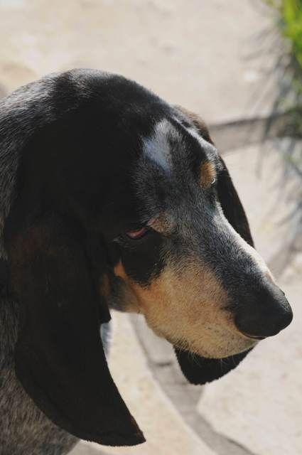 basset bleu de gascogne | Basset bleu de Gascogne - Bleu de Gascogne - L'avis du vétérinaire ...