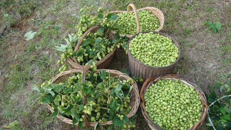 Cosecha lupulo 2012 cerveza Kaf - Harvest hop 2012 brewer kaf