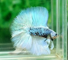 how to tell how old your betta fish is