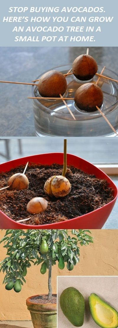 STOP BUYING AVOCADOS. HERE'S HOW YOU CAN GROW AN AVOCADO TREE IN A SMALL POT AT HOME.