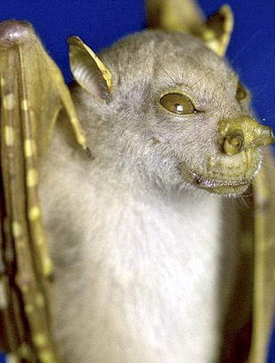 tube-nosed fruit bat