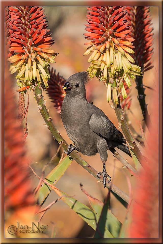 Grey Go-away-bird AKA Grey Lourie, Grey Loerie, or Kwêvoël (Corythaixoides concolor)