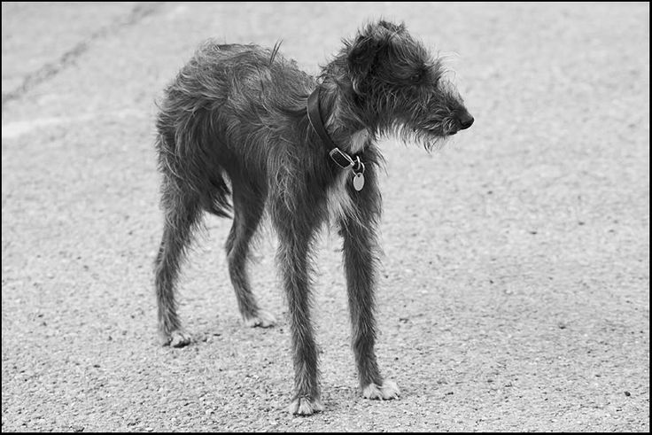 oh my goodness, what a cutie! Whippet x Bedlington