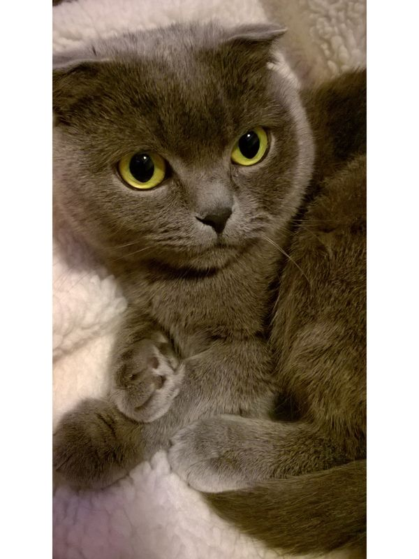 Просто фото котика породы Скоттиш Фолд (Шотландская вислоухая) - Part 2 кот, скоттиш фолд, длиннопост