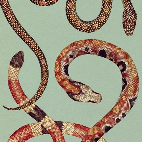red black and yellow snakes