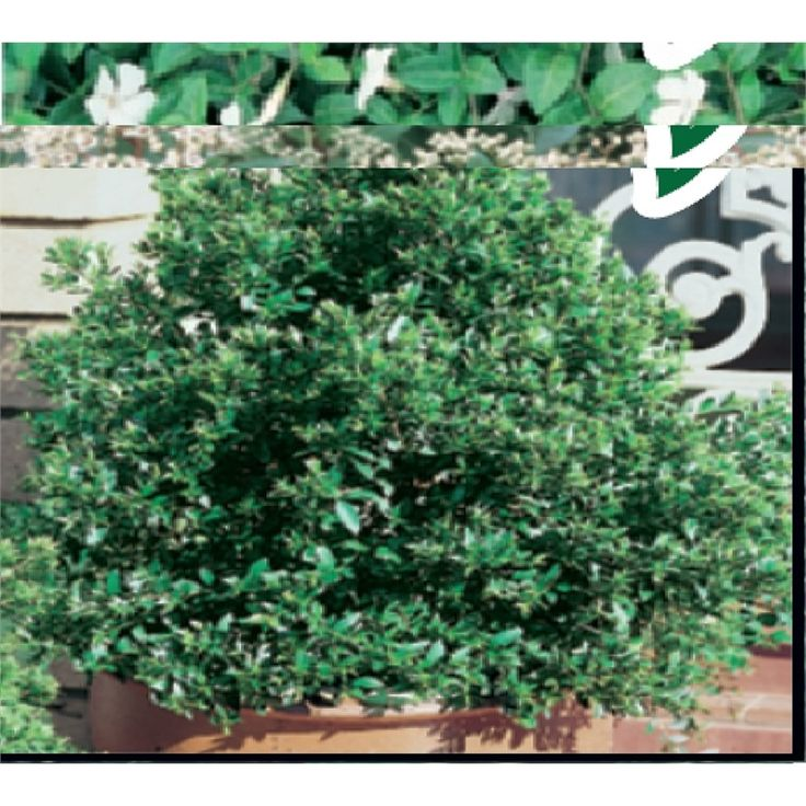 70mm Syzygium Australe Lilly Pilly
