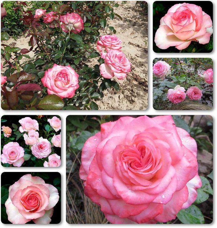 wielobarwne róże wielkokwiatowe Isabelle Aubret