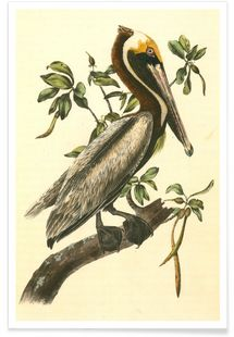 Brown Pelican (by List Collection) - John James Audubon - Premium poster