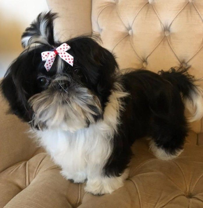 This Imperial Shih Tzu Is From Glory Ridge Shih Tzu Come Learn About Shih Tzu On Our Website Shih Tzu Imperial Shih Tzu Animal Companions