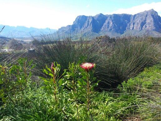 Protea in Franschoek valley