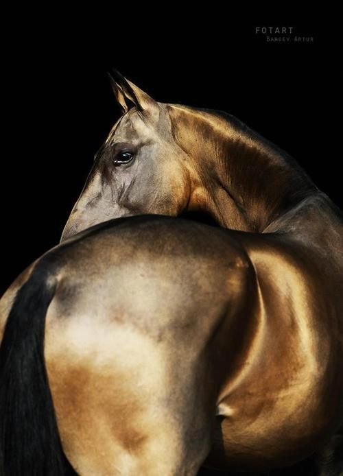 Akhal-Teke with their remarkable coat