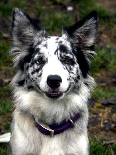 Border Collie 20 by ~Museik on deviantART