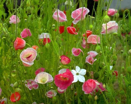 Hoa đẹp!!!Beautiful Flower, Amazing Flower, God Beautiful, Lila Poppies, Beautiful Creations, Spring Wildflowers, Fav Flower, Flower Gardens, Flower Pics