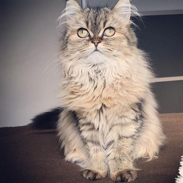 いつも変な顔ばかり…と怒られそうなので(笑)きちんと出来ます😂✨ #きちんと座り #どこ見てますか #可愛いですよ #どんなお顔も #はい #溺愛してます #ねこ #愛猫 #ilovecat #cat #catlover #catstagram #ねこ部 #ねこら部 #にゃんだふるらいふ #ねこのいる生活  #猫好きさんと繋がりたい #モフモフ #fluffy