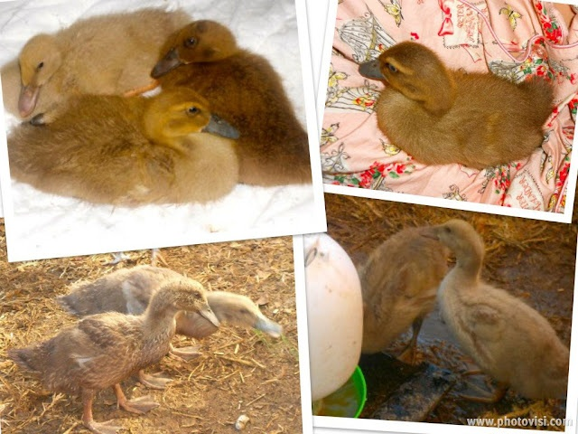 Khaki Campbell ducklings