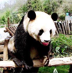 Panda Habitat Animals Giff #9711 - Funny Panda Giffs| Funny Giffs| Panda Giffs