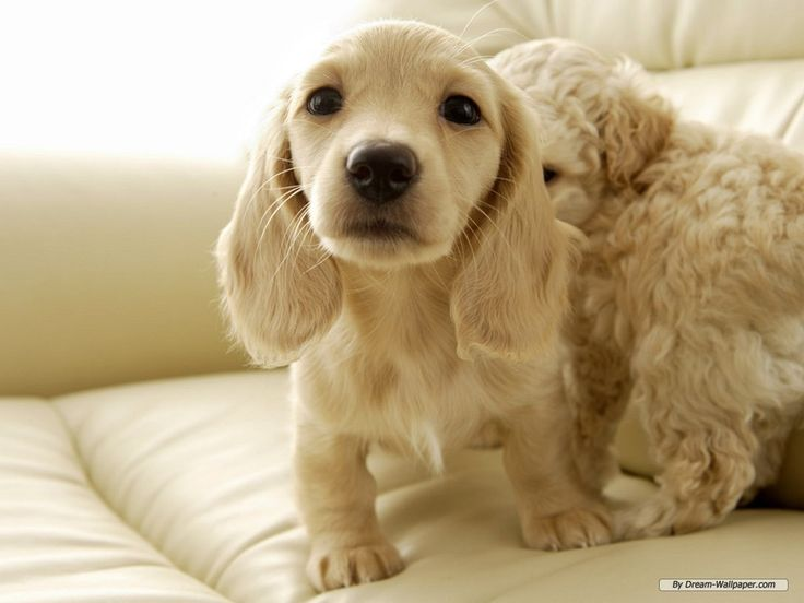 Cream Dachshund... sweet! I would guess a cross with a cocker spaniel ...look at the sibling:)