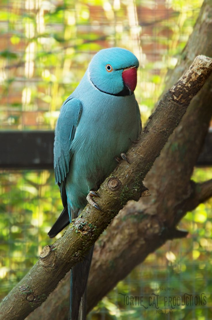 Blue <3 #Halsbandsittich #ringneckedparakeet #roseringedparakeet #Vögel #Fotographie