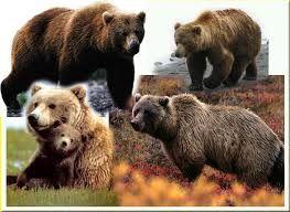 Pendidikan: Beruang Grizzly hibernasi dan faktanya