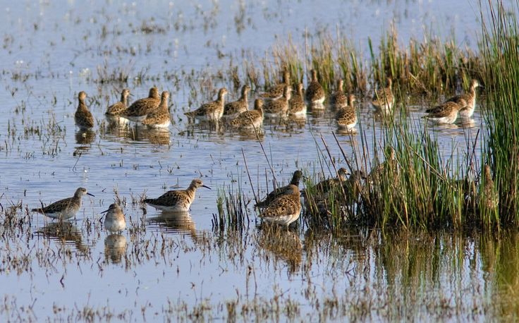 Ruff ιn two groups at Lake Stavronikita, Sani Wetlands