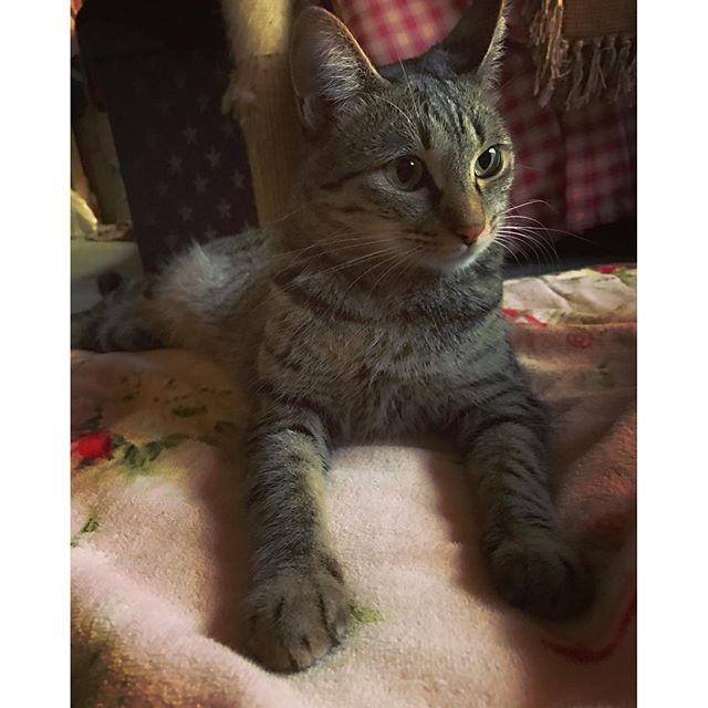 . . まま おかえり。 でもまたお仕事いっちゃのね。 とでも言いたげに かまってほしいの我慢してるっぽい。 あーーー可愛すぎる。 仕事 行きたくなーーい (´・ε・̥ˋ๑)サミシイ… . #instacat#ねこ#cat#ふわもこ#猫#猫部#癒し#かわいすぎる#キジトラ#お腹はもふもふ#rairai#catstagram#kitty#cats#ペコねこ部#ネコ#ねこすたぐらむ#猫好き#cute#love#天使#neko#愛猫#catlove
