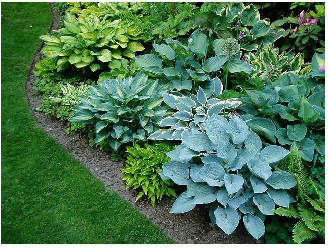 42 best hostas images on pinterest gardening hosta for No maintenance perennials