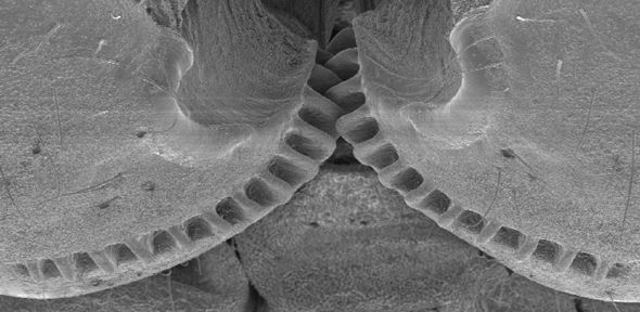 Previously believed to be only man-made, a natural example of a functioning gear mechanism has been discovered in a common insect - showing that evolution developed interlocking cogs long before we did | The University of Cambridge #zoology #entomology #biomechanics