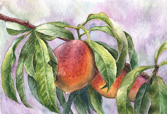 Maltese Peaches Watercolor Painting & Print