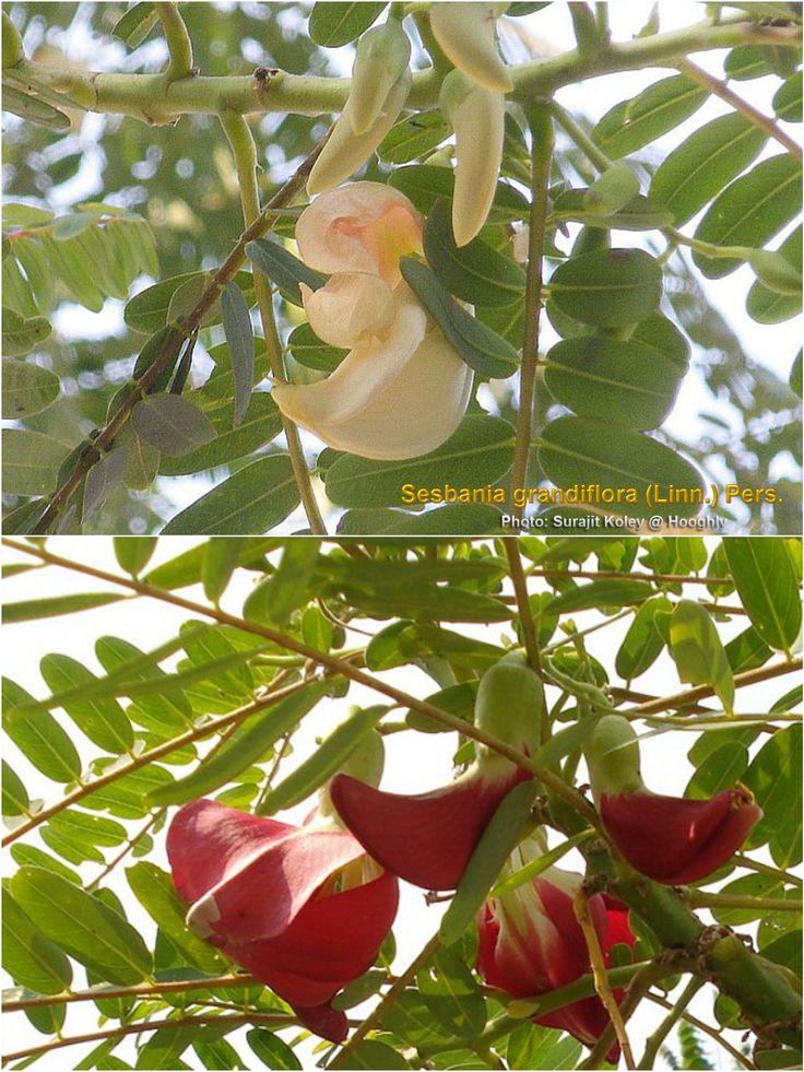 Bok Ful (বক ফুল) - Sesbania grandiflora | Flowers of ...