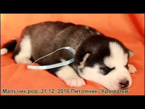 Симпатичный черно белый щенок хаски мальчик родился 31 декабря 2016 года