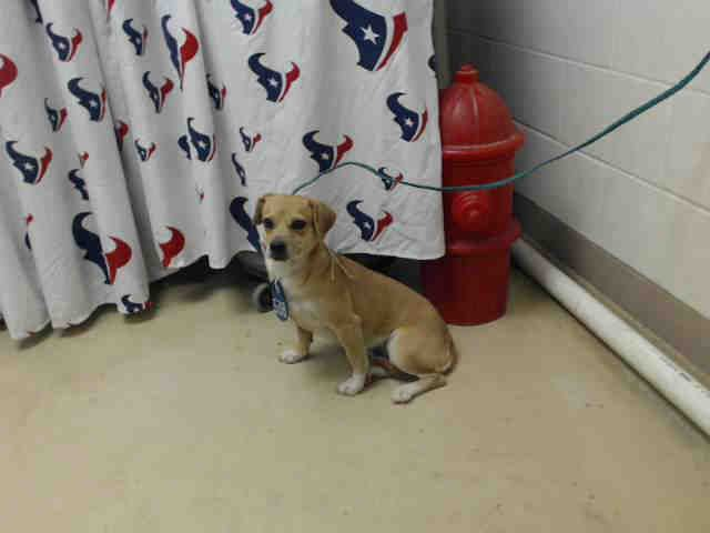 01/03/17~~SUPER URGENT - HOUSTON PLEASE WATCH THE VIDEO AND TAKE HER HOME!! 12/30/16-This DOG - ID#A474848 I am a female, brown and white Chihuahua - Smooth Coated and Dachshund. I am about 2 years old. I have been at the shelter since Dec 30, 2016. Harris County Public Health and Environmental Services. https://www.facebook.com/harriscountyanimalshelterpets/videos/1375615499168911/