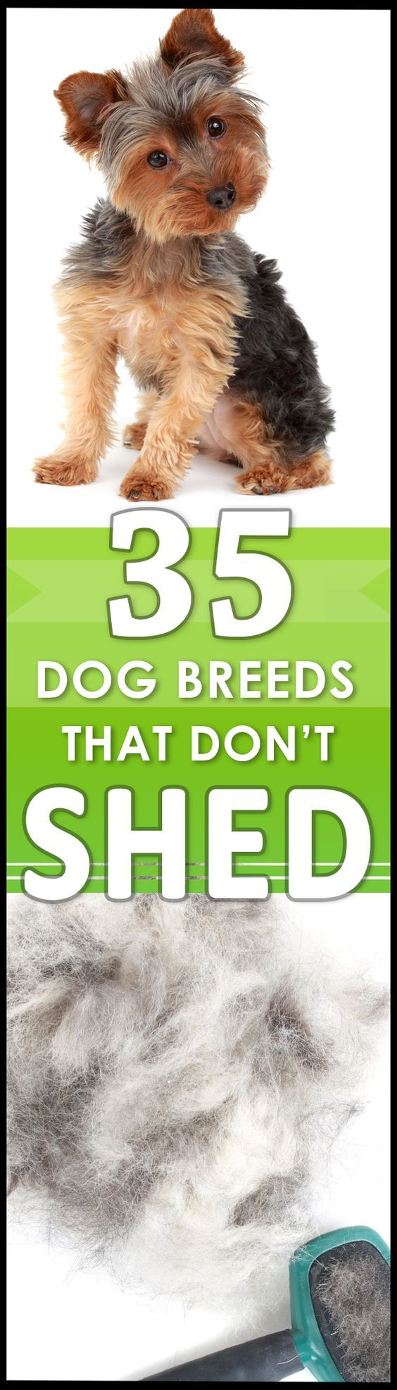Love This! All the hypoallergenic dog breeds that DON'T shed, and which one is best for you and your family!