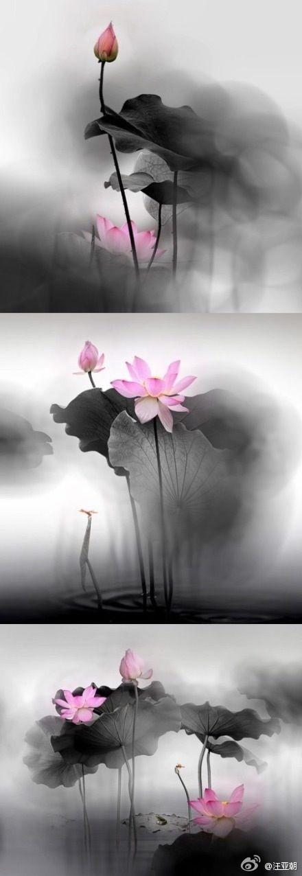 lotus in the West Lake in Hangzhou