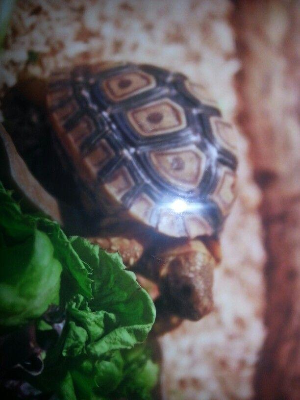 schildpad turtle