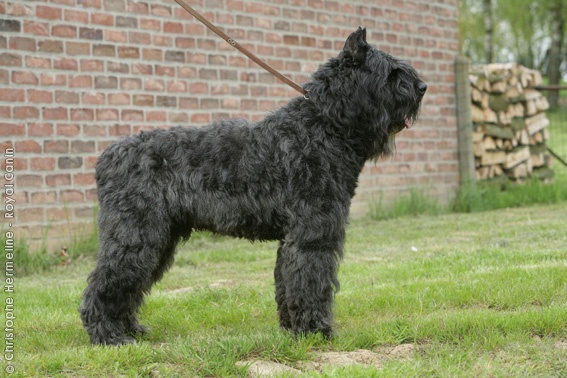Bouvier des Flandres. We keep a more manageable hair do on my Zoey dog ...