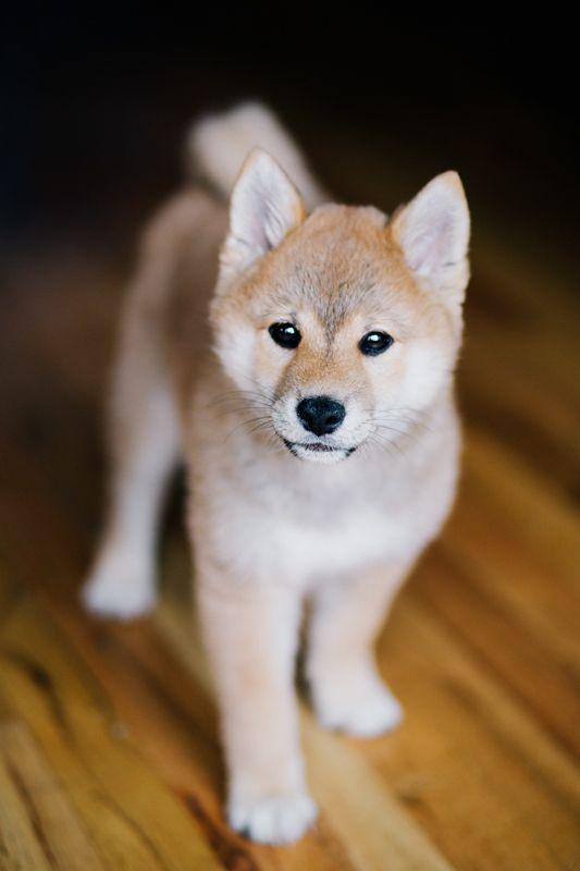 Adorable Shiba Inu #puppy! #CuteShiba @PetPremium #Pet Insurance