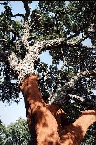 Sardegna, Tempio Pausania - Quercia da Sughero A Cork tree ! Cork is widely used in Italy !
