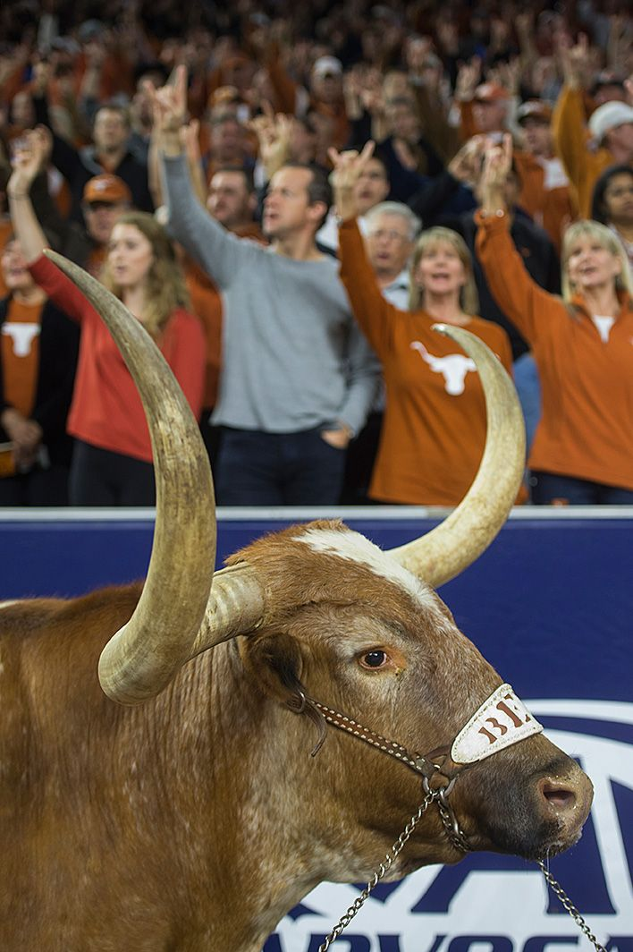 Bevo at the 2014 AdvoCare V100 Texas Bowl, NRG Stadium, Houston