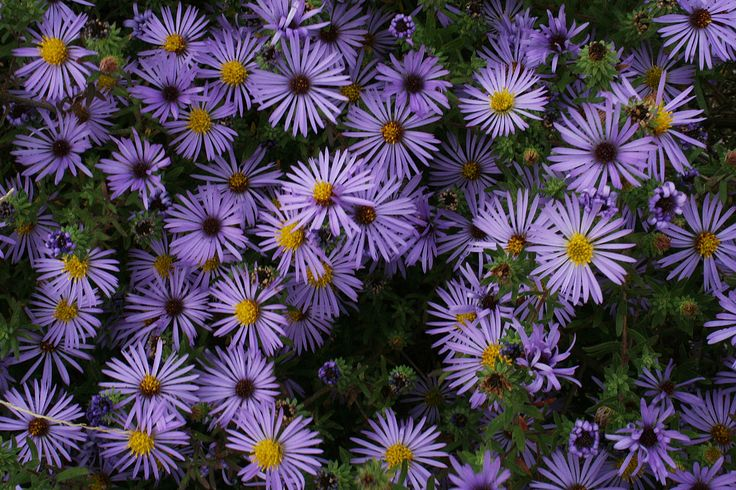 Aromatic Aster (Aster oblongifolius)- is an adaptable native prairie plant. The species grows well in sunny, dry locations and is attractive to a variety of pollinators in late summer or early fall. Photo taken by Lane Richter